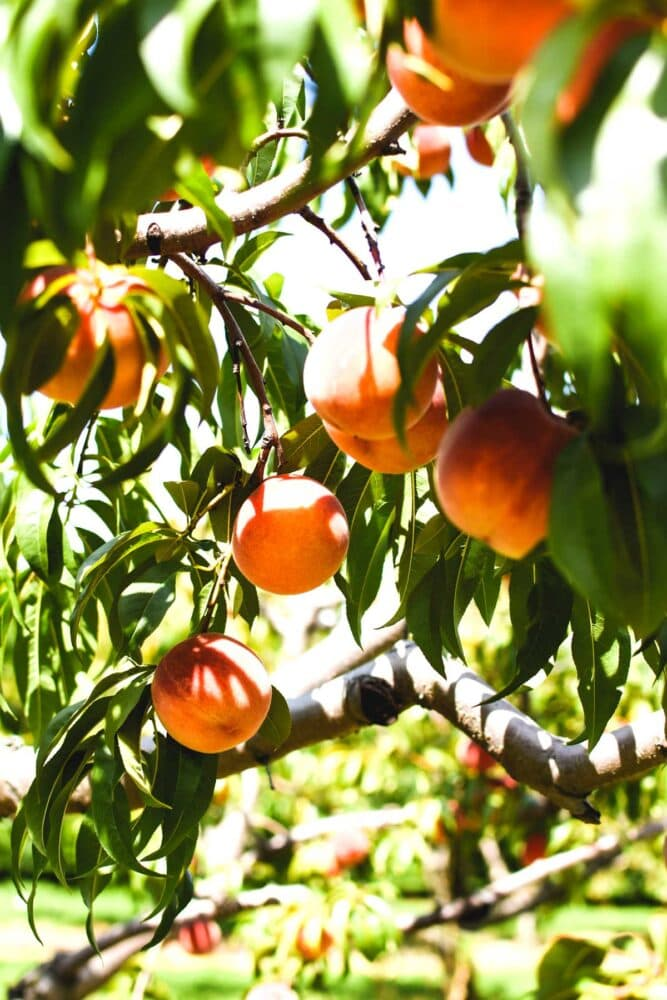 Healthy Peach Smoothie with fresh peaches