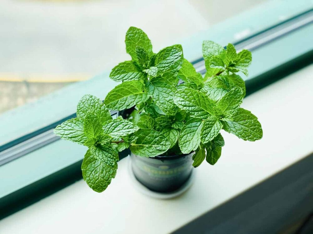fresh mint is needed for the perfect shamrock shake flavor