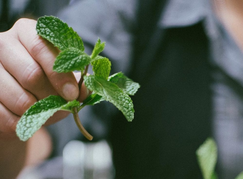Mint to use for detox water