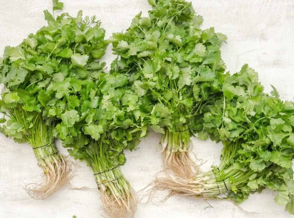 sultry cilantro wrapped with twine on board