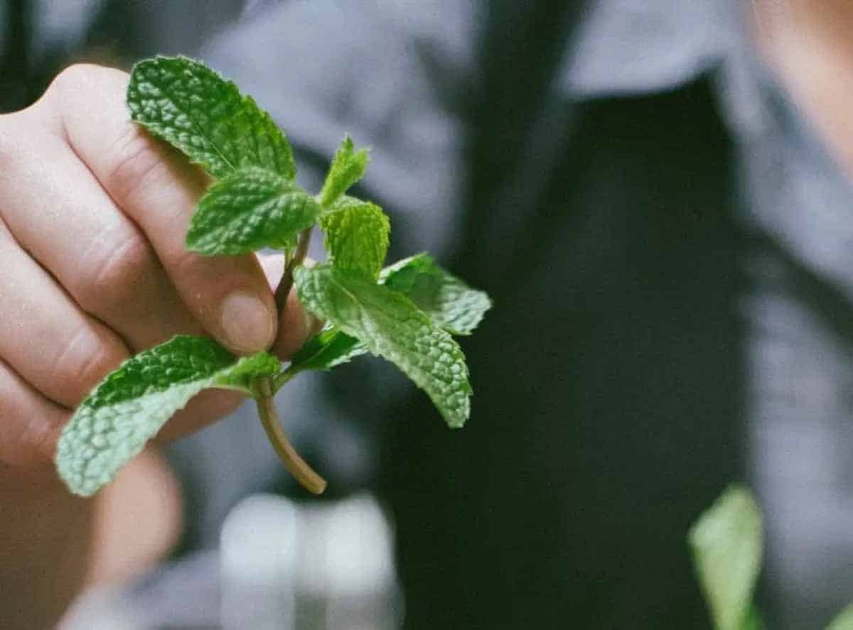 easy to grow fresh herbs when pruned properly